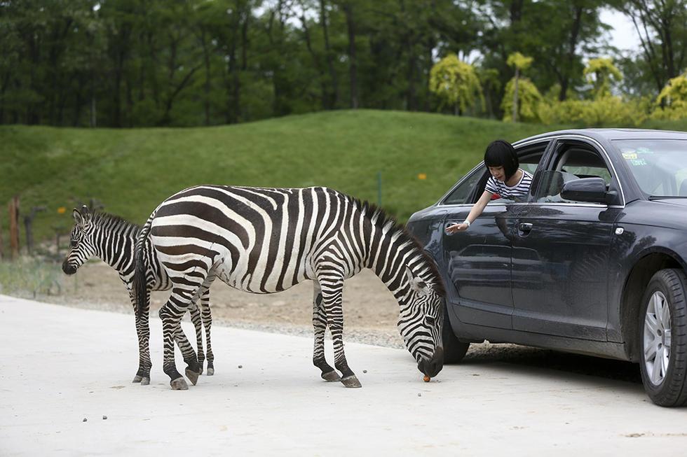 5月15日,大兴野生动物园,车内游客在给斑马喂食.