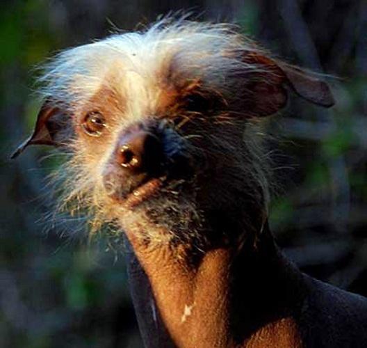 最丑小狗的大奖之外,还额外增添了精神安慰奖.-选丑大赛上那些最图片