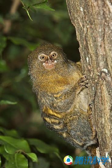 约15厘米)的绒猴,是猴类中的侏儒,它是世界上最小的猴子.然