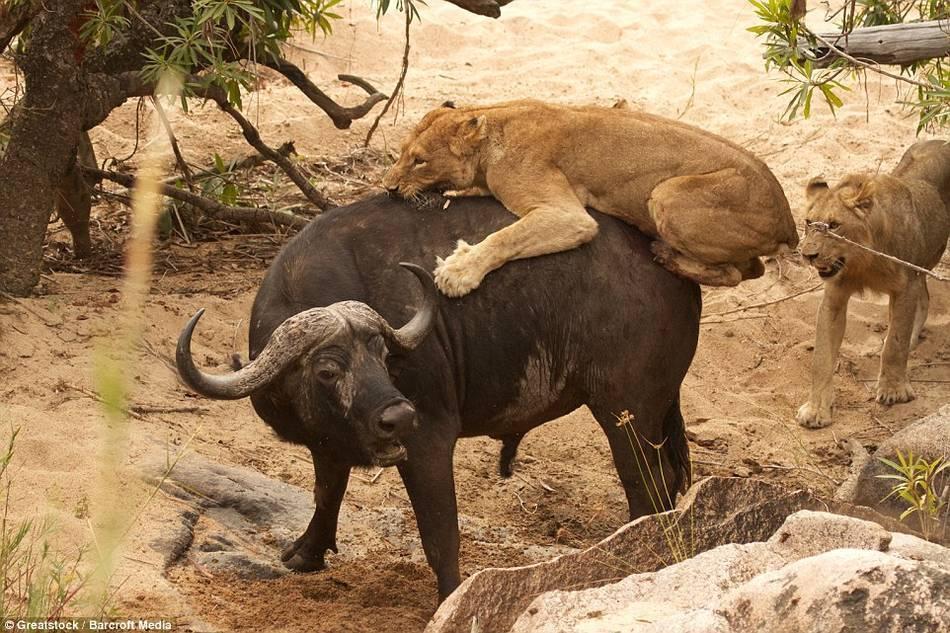 南非一水牛遭5狮子围攻 寡不敌众死斗到底 - 海阔山遥 - .