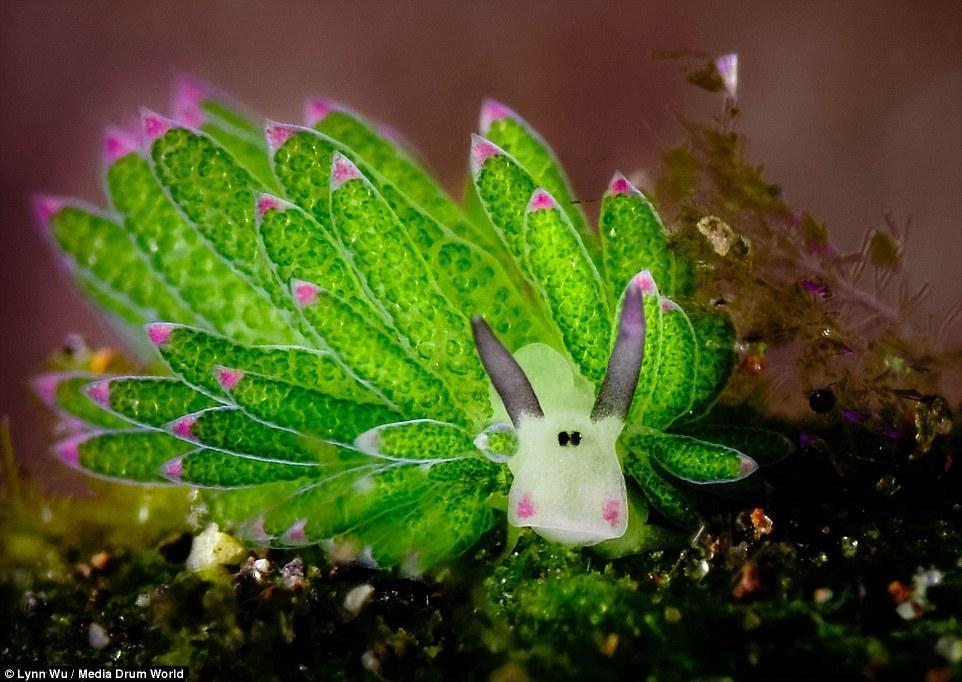 巴厘岛海底 最萌软体动物