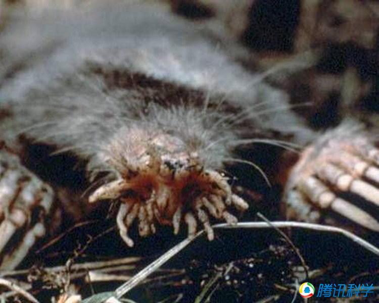 些鼹鼠可能长着动物世界中最奇特的鼻子,它们的鼻子结构实际上图片