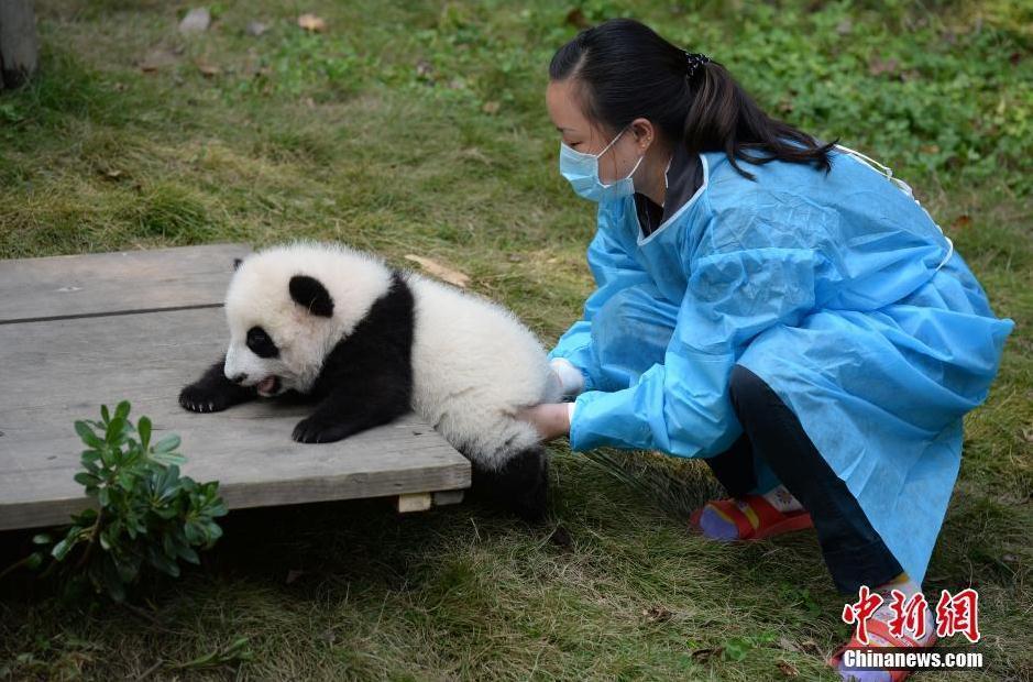"""成都大熊猫""""叠罗汉""""领食物 卖萌醉倒游客 - 海阔山遥 - ."""