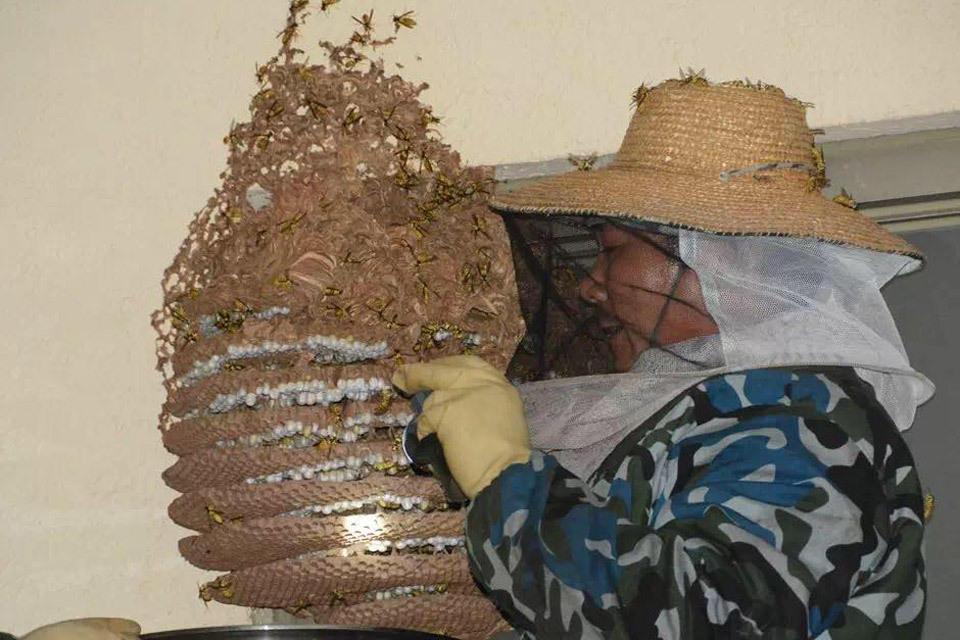 江门20多斤马蜂窝被端 4000多只蜂被泡了酒  我要评论(2467) - 通明 - 通天之德