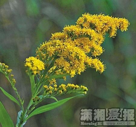 湖南有82种外来入侵植物 八成入侵是人为因素造成