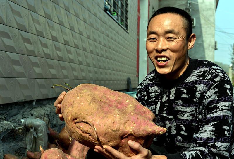 """湖北襄阳农民种出""""红薯王"""" 最大18斤重2015.11.10 - fpdlgswmx - fpdlgswmx的博客"""
