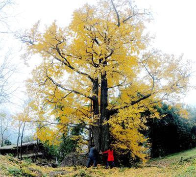 金色千年银杏树相依相伴 网友 简直美翻了