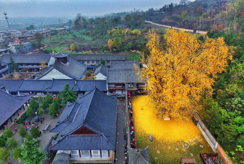 航拍陕西1400年古银杏落叶 似黄金毯 - 海阔山遥 - .