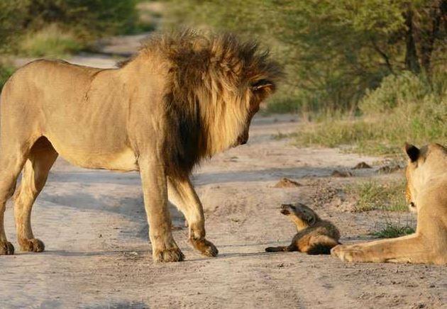 组图:雄狮攻击小狐狸 母狮挺身怒吼保护小狐 - 海阔山遥 - .