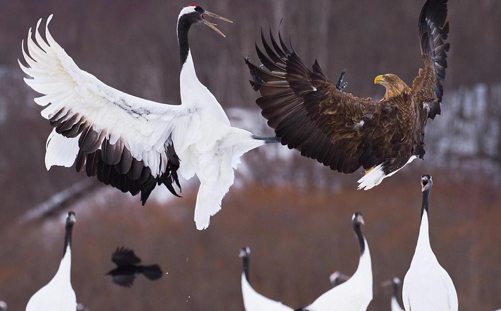 """日本保护区惊现""""鹤鹰大战"""" 丹顶鹤击退白尾鹰 - 海阔山遥 - ."""