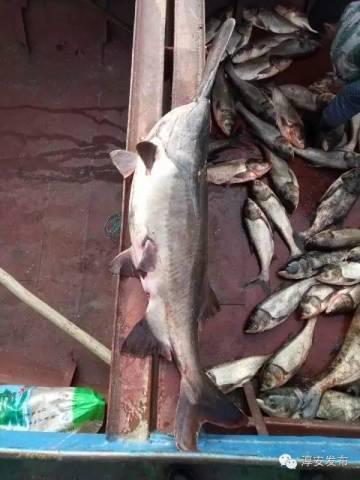 又出鱼王新纪录 千岛湖捕获国内最大鸭嘴鲟