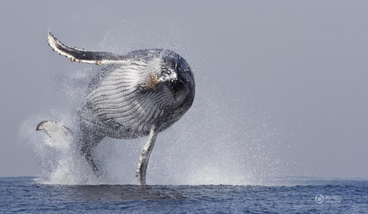 金侨驹�(_巨大座头鲸在南非海滩搁浅 尸体被挖土机运走