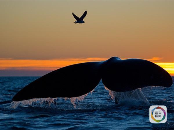 凶悍海鸥:科员人员发现鲸鱼常被它们啄死 - 海阔山遥 - .
