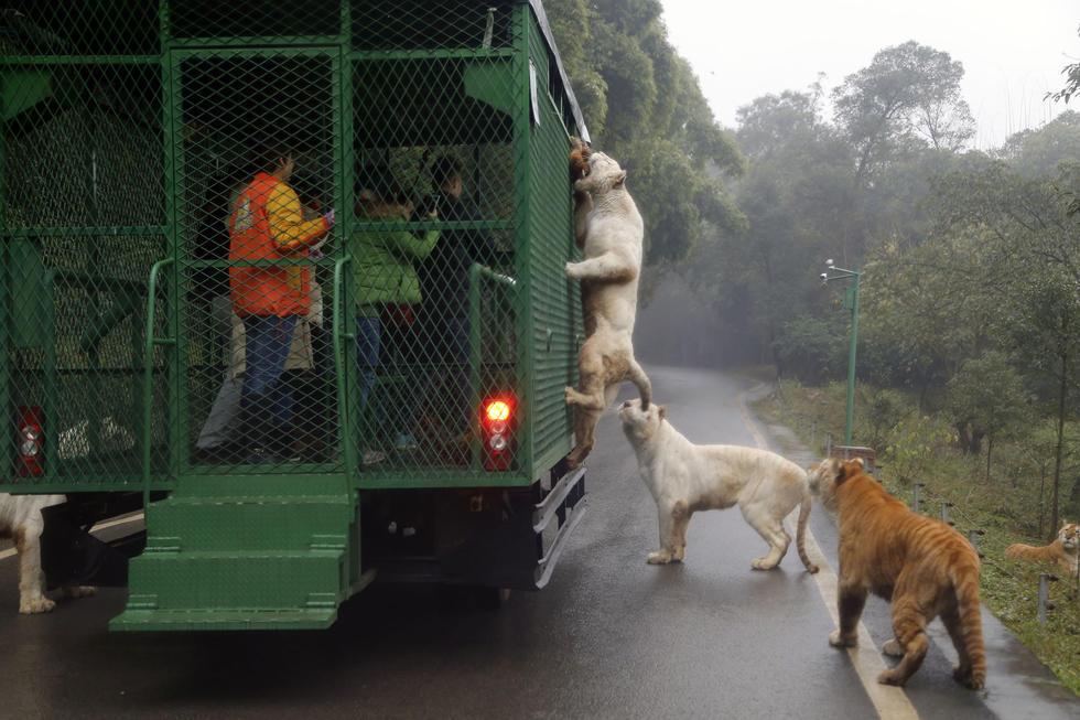 重庆狮子老虎爬上观光车抢食 游客尖叫连连 - 海阔山遥 - .