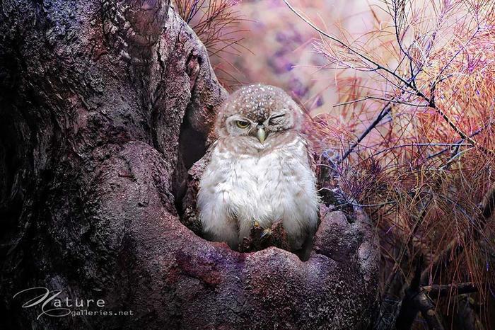 猫头鹰的美丽与灵气.-森林精灵猫头鹰图片