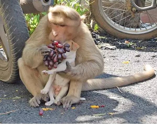 【图片新闻】印度猴子收养一只流浪小狗 感动了整个世界 - 耄耋顽童 - 耄耋顽童博客 欢迎光临指导