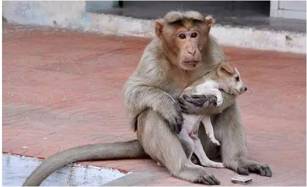 印度猴子收养一只流浪小狗 感动了整个世界 - 海阔山遥 - .
