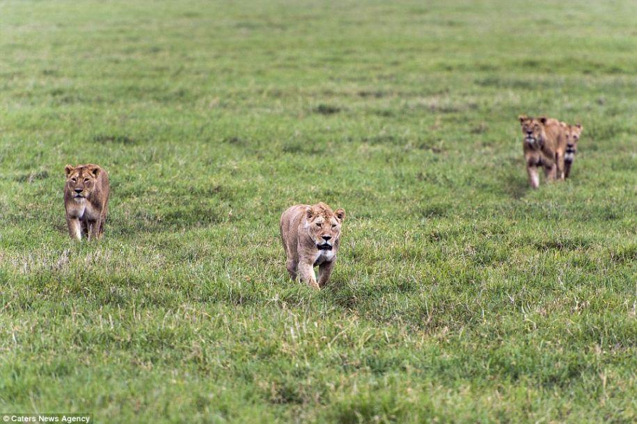 正中面门!狮子捕食水牛反被踹 - 海阔山遥 - .