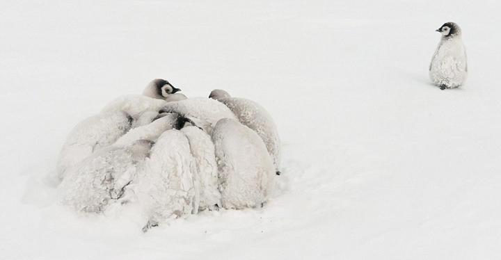 南极帝企鹅宝宝抱团取暖,萌到让人心疼 - 海阔山遥 - .