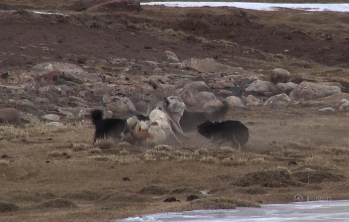 青藏高原孤狼单挑六只狗 狗一死一伤落荒而逃 - 海阔山遥 - .