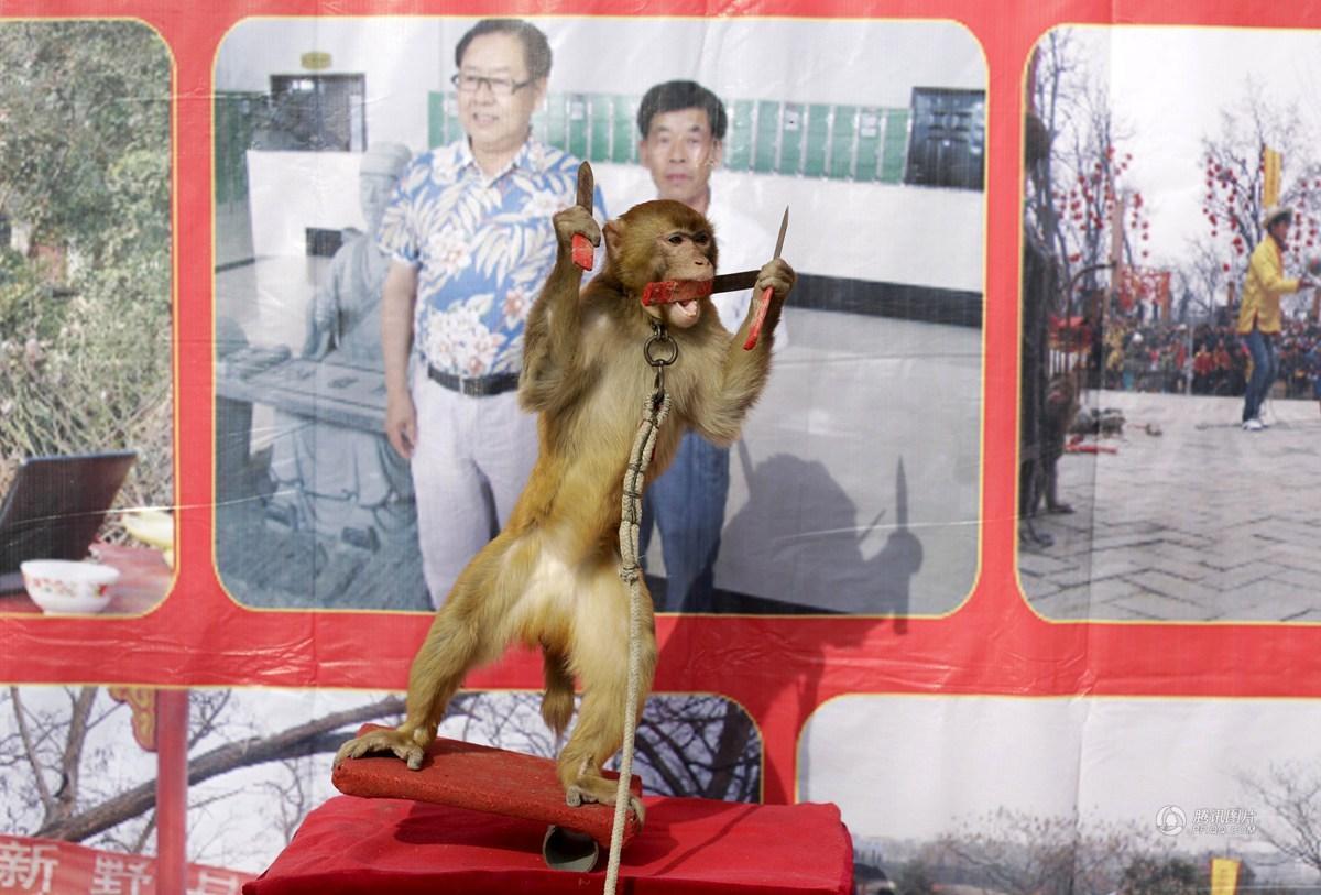 个例外.这里的猴子带着金属项圈,学习骑自行车和踩高跷,一名训图片