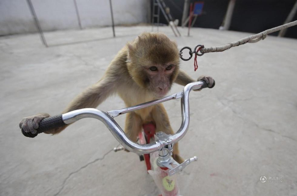 猴子学习骑自行车.-高清 走近新野 猴戏之乡 村民期待猴年增收图片