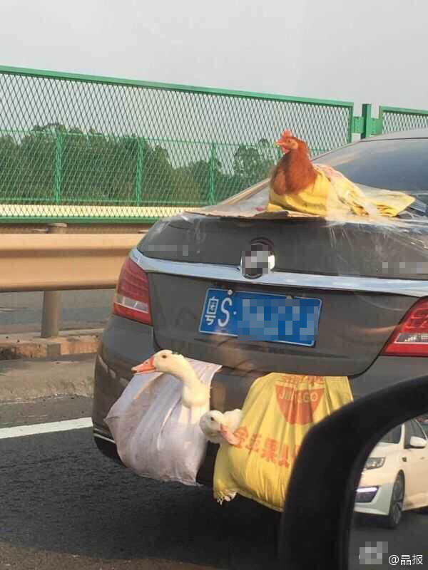 两鸭一鸡成了网红 因为它们这样乘车上高速 - 海阔山遥 - .