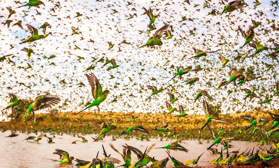 8万只鹦鹉齐聚寻水 壮观画面如绿色旋风 - 海阔山遥 - .