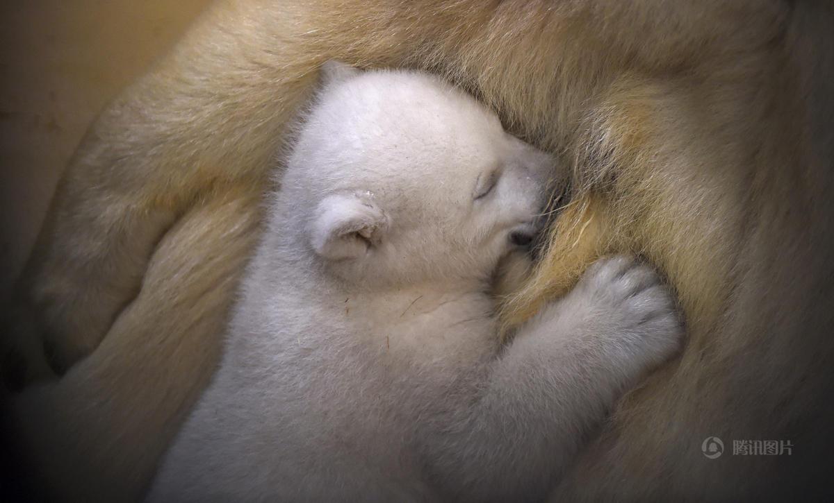 """德国动物园""""超萌""""北极熊宝宝亮相仓鼠有一点点尿血图片"""