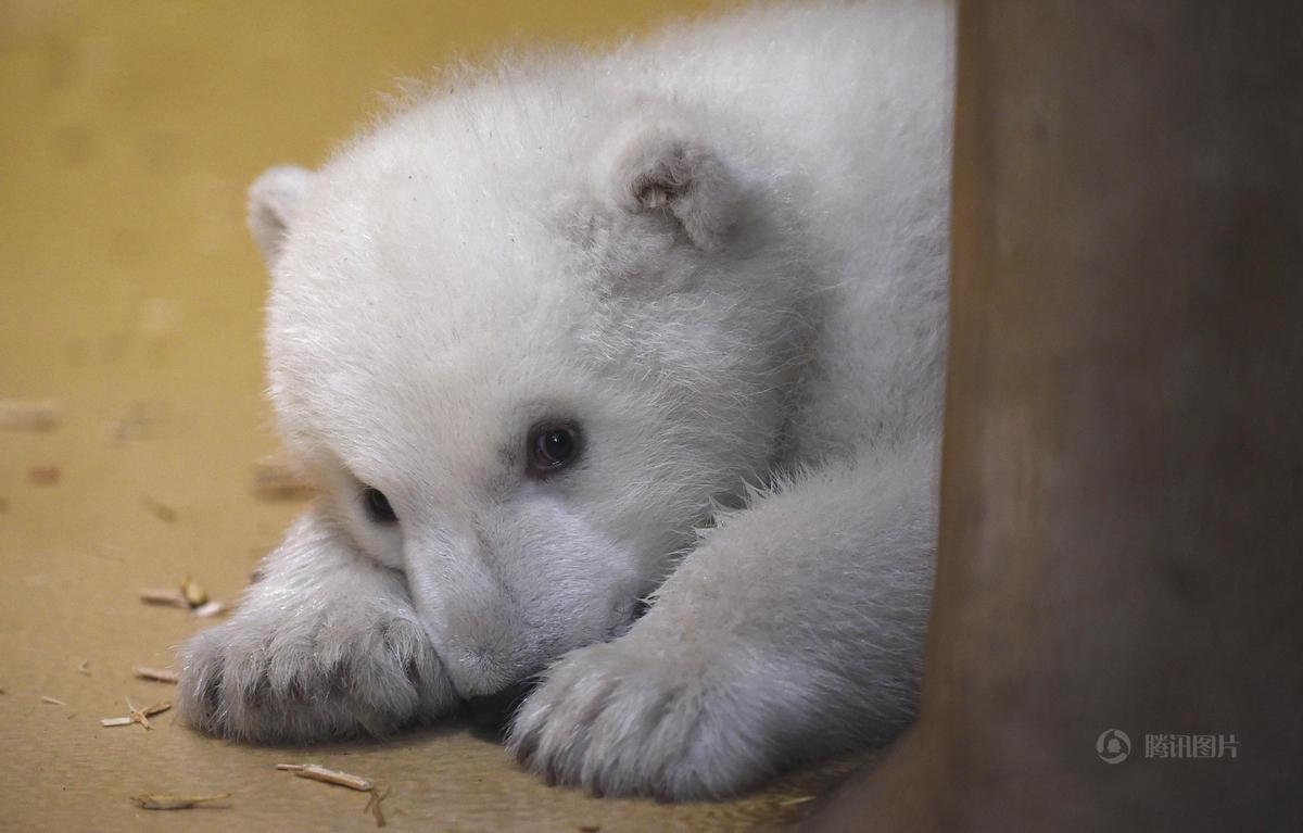 """德国动物园""""超萌""""北极熊宝宝亮相"""