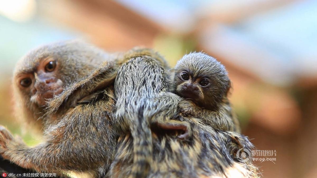 世界最小猴子降生 比人的拇指还短 - 海阔山遥 - .