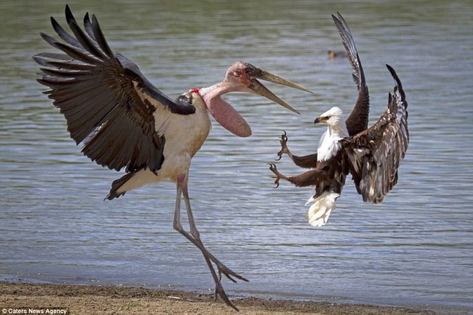 为了一条鲶鱼过招 老鹰最终被秃鹳打败了 - 海阔山遥 - .