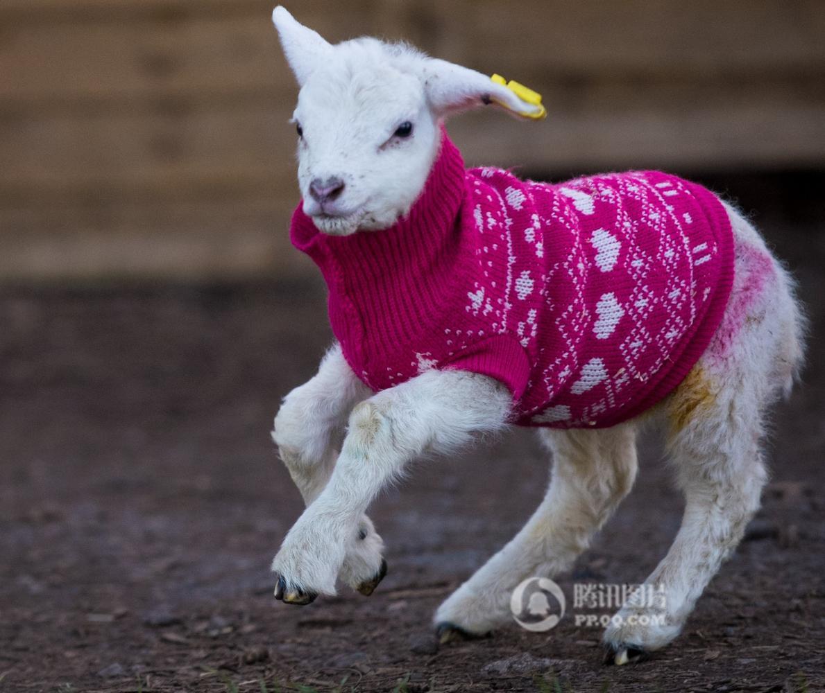 英国小羊获匿名好心人赠送手工编织夹克