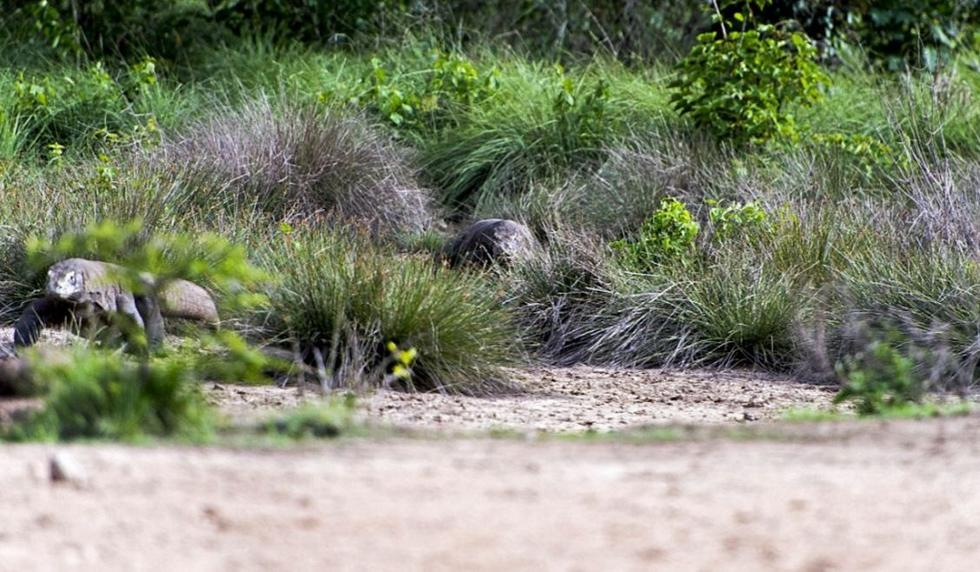 太凶猛 印尼巨型蜥蜴血口大张捕杀山羊 - 海阔山遥 - .