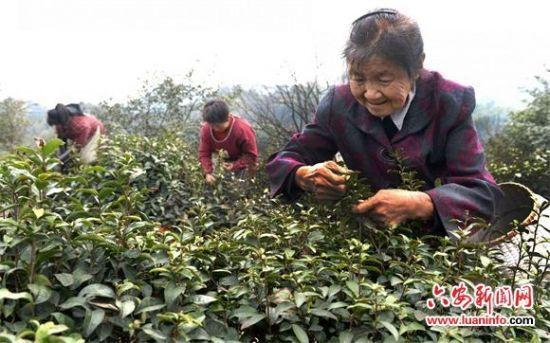 76岁老妇创业种茶:为儿还债 为儿媳治病 - 海阔山遥 - .