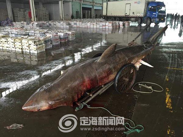 浙江渔民误捕4米长大白鲨重量超千斤_新闻_腾讯网