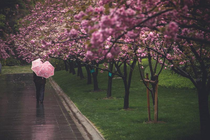 """上海""""最美50米""""路旁樱花雨后绽放2016.4.5 - fpdlgswmx - fpdlgswmx的博客"""