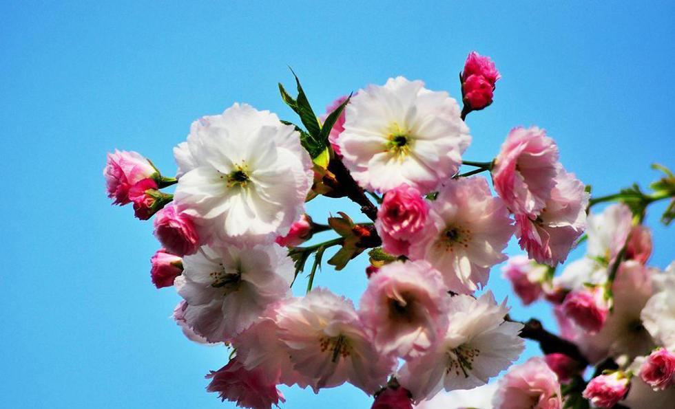 由于早期的樱花品种花瓣较小且繁密,因此将青龙寺装点的格外清新