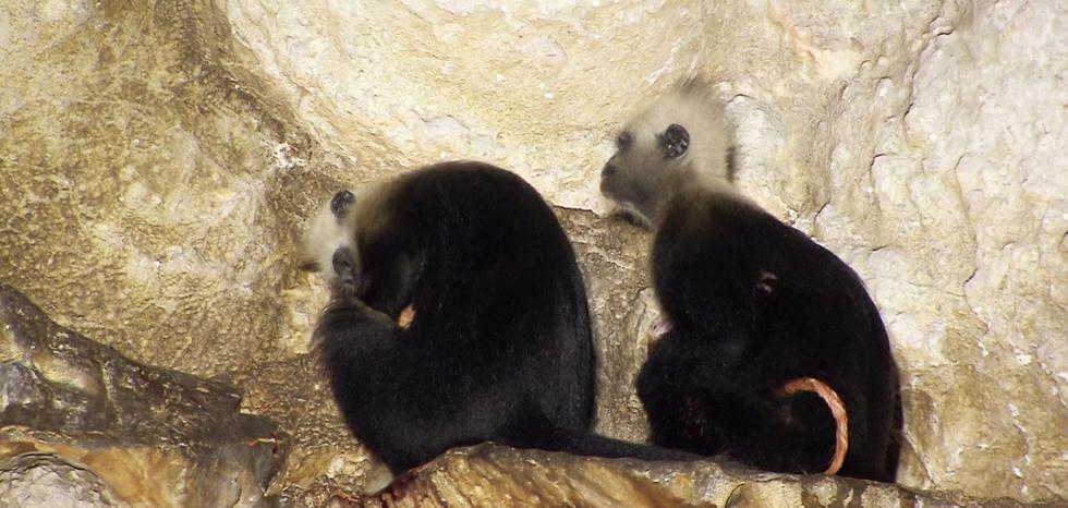 """神奇自然!野生猴子分娩也有""""助产婆"""" - 海阔山遥 - ."""