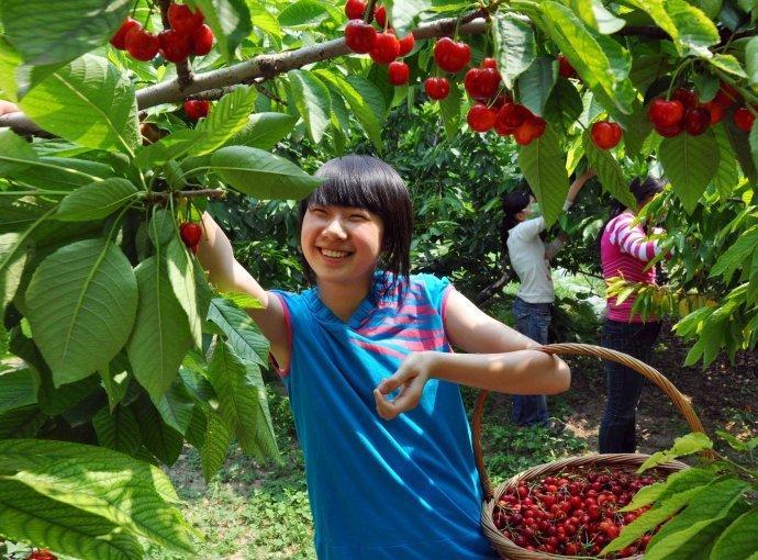 安.新闻动态.樱桃熟了 陕西樱桃采摘基地早已饥渴难耐