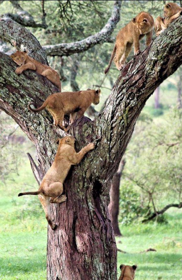 坦桑尼亚公园现奇观 狮子扎堆集体树上小憩 - 海阔山遥 - .