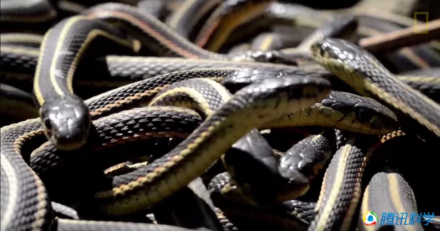 更加有趣的是,这些红边花纹蛇中雄性与雌性个体的比例为10000:1.