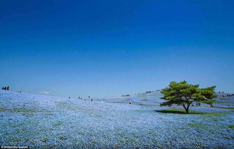 日本摄影师拍摄蓝色花海 与天空交融仿佛幻境 - 海阔山遥 - .