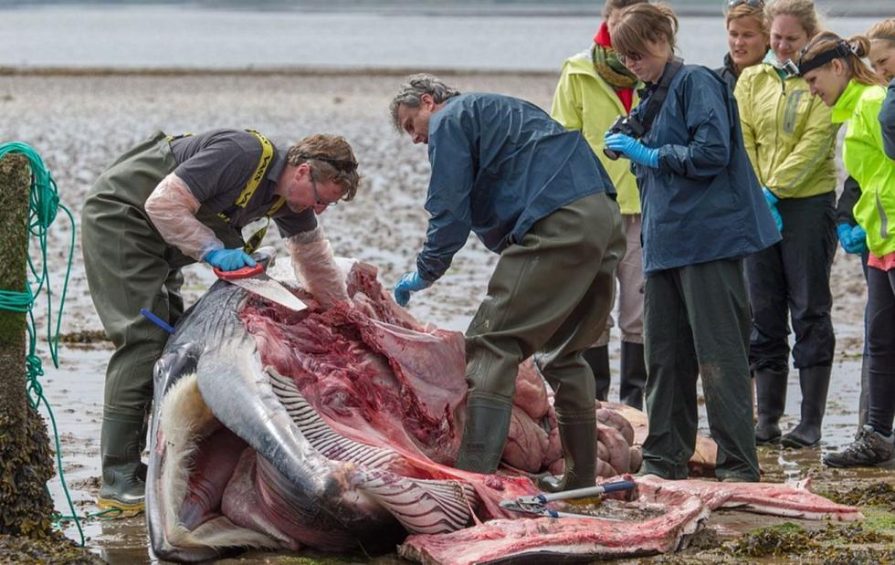 对抗海水压力.鲸鱼搁浅后,其体内的废气会持续增加,导致尸体
