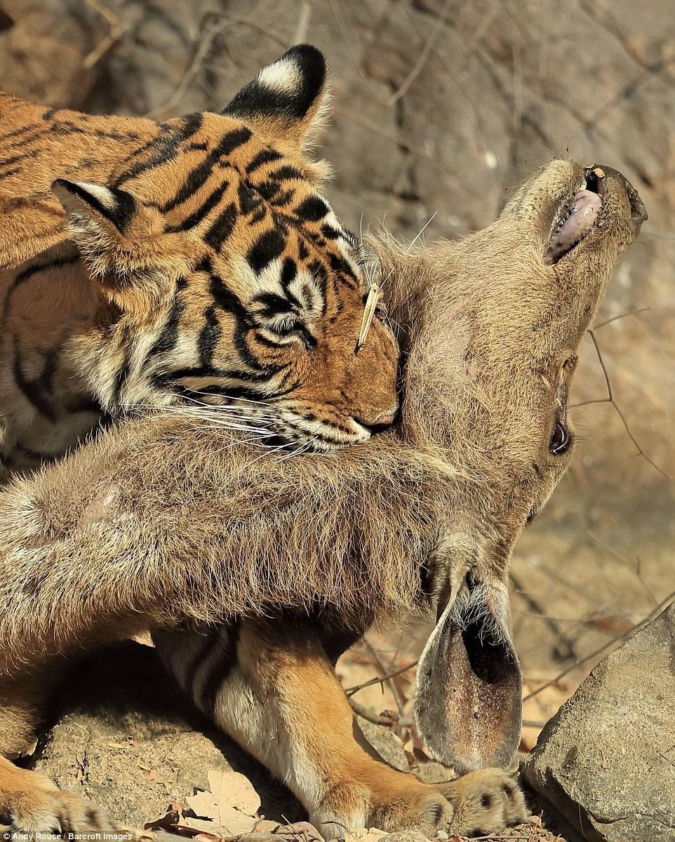 【图片新闻】摄影师蹲守660小时只为拍老虎捕鹿精彩瞬间 - 耄耋顽童 - 耄耋顽童博客 欢迎光临指导