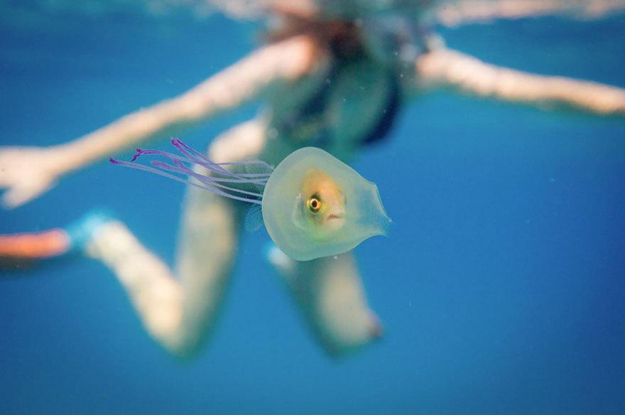 鱼 搭便车 藏身水母腹中 潜水摄影师拍下奇妙一幕