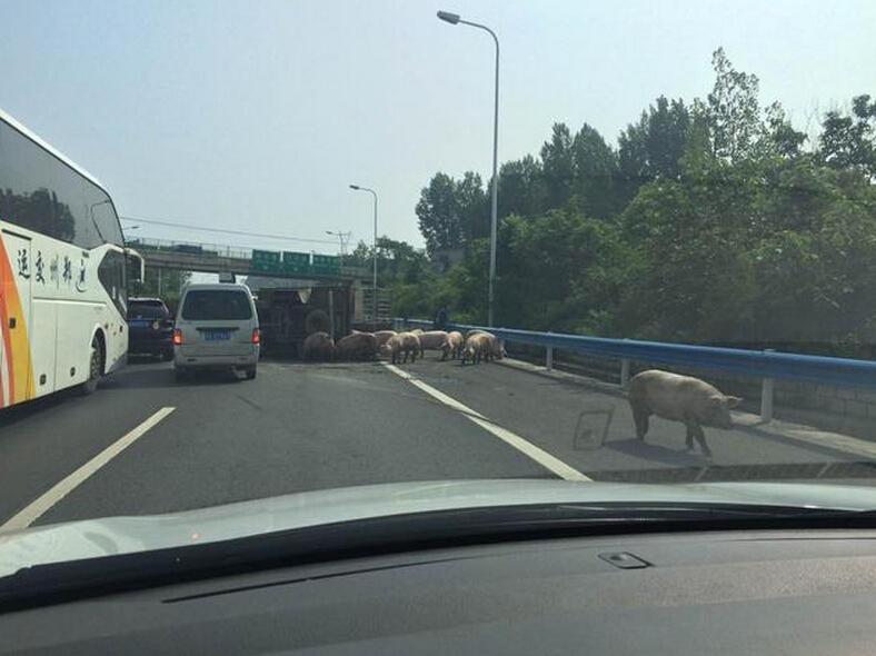 高速拉猪货车侧翻致拥堵 有车占用应急车道