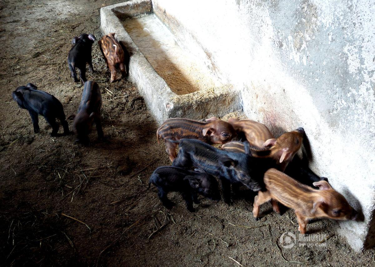 四川达州家猪产下17只野猪崽成奇闻