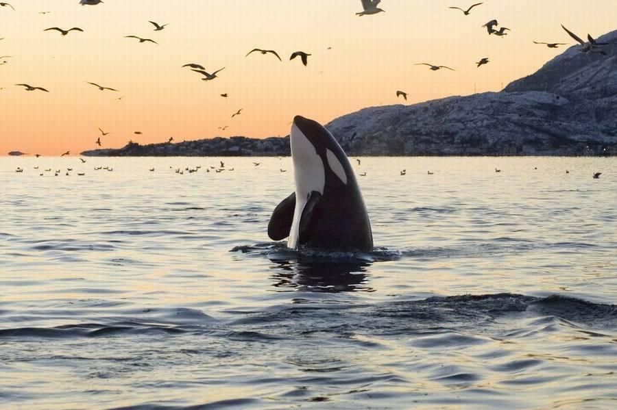 逆戟鲸惊人事实:它们是地球上最大的海豚科动物