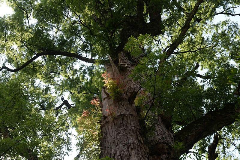 贵州遵义现600岁高龄黄梨古树 需9人合抱2016.6.24 - fpdlgswmx - fpdlgswmx的博客